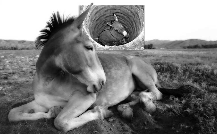 Caesar, The Mule